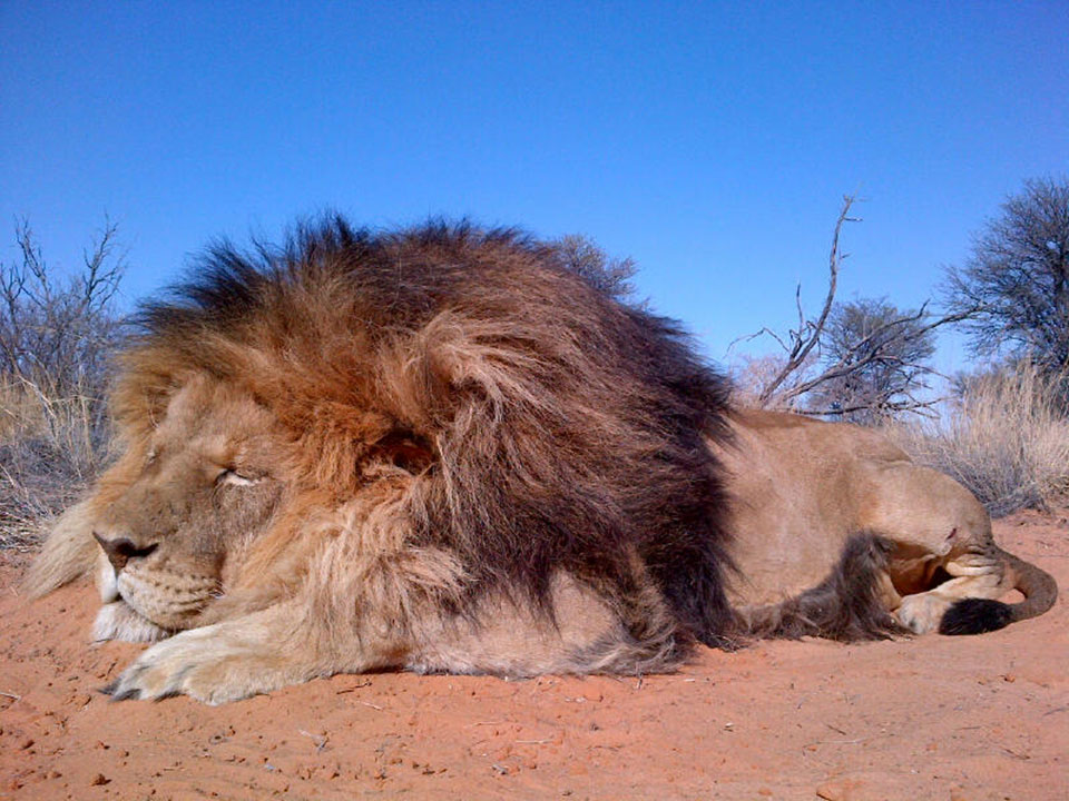 Large-Maned-Trophy-Lion-Hunting-Safaris-South-Africa.jpg
