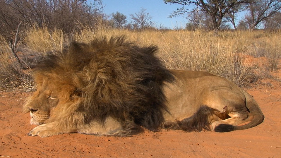 Large-Trophy-Lion-Hunting-Safaris-in-South-Africa.jpg