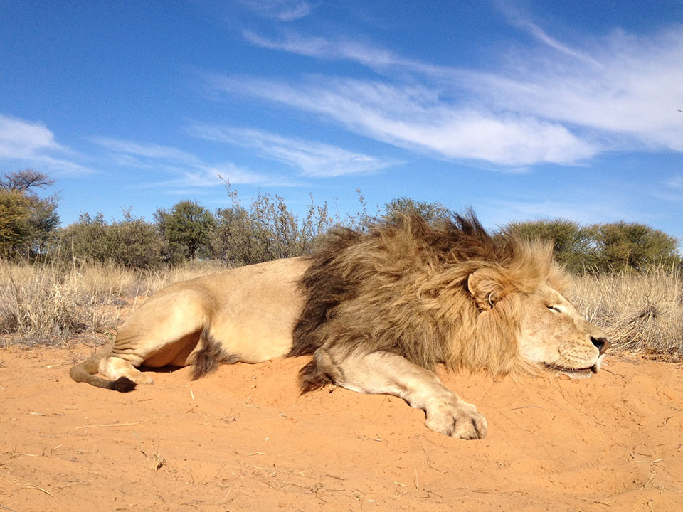 Lion-Hunting-Dangerous-Game-Safaris-South-Africa.jpg