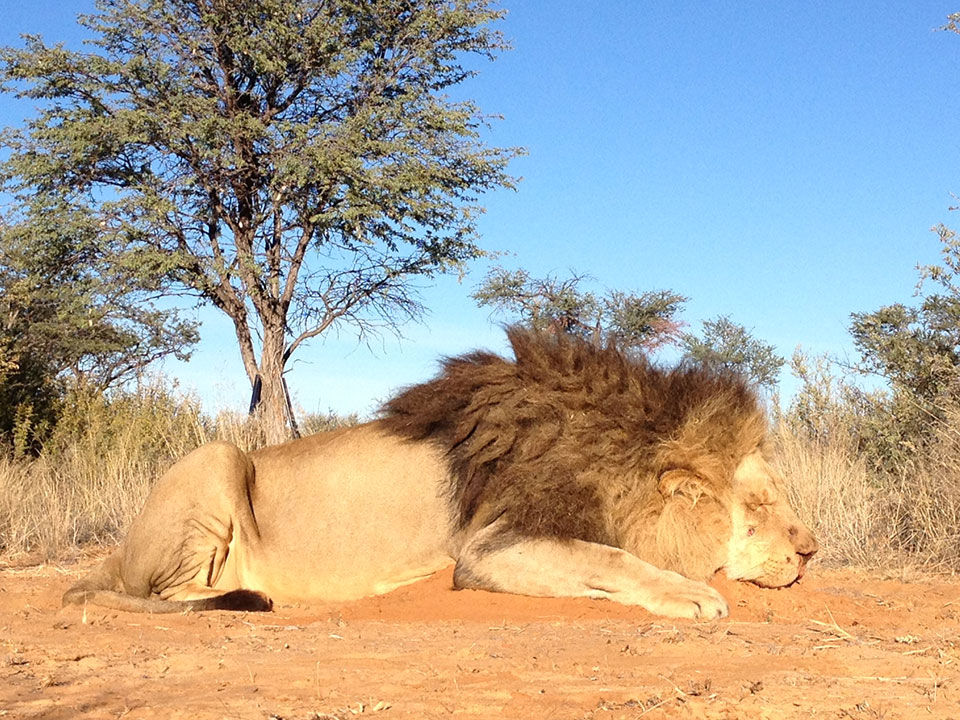 Trophy-Lion-Hunting-in-South-Africa.jpg
