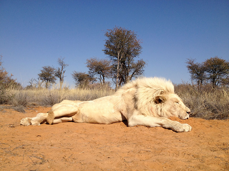 Trophy-White-Lion-Hunting-South-Africa.jpg