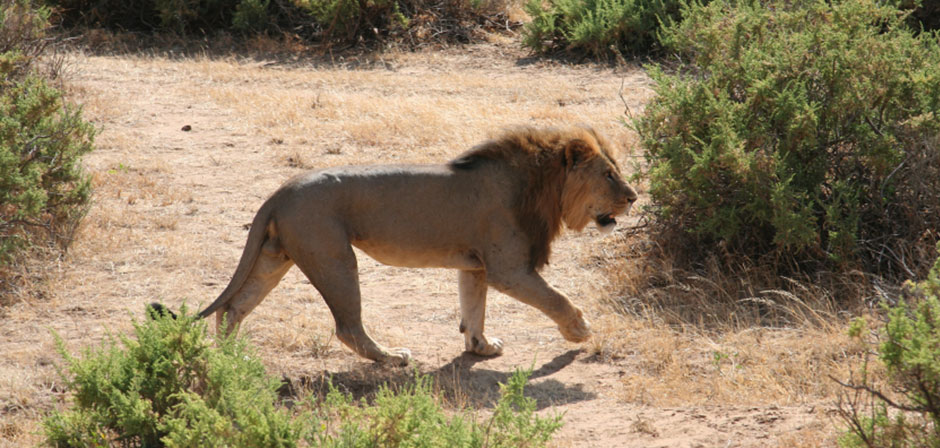 Lion Hunting Safaris in South Africa | Trophy Lion Hunts